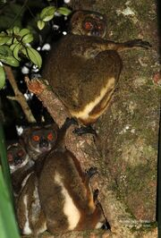 Peyrieras's Woolly lemur