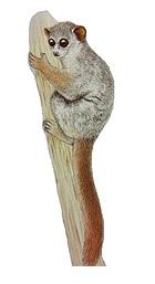Ahmanson's sportive lemur