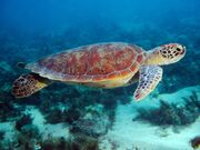 Swimming-Sea-Turtle