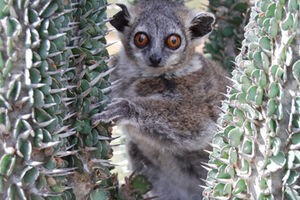 Petter's sportive lemur