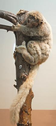 Gray-backed sportive lemur