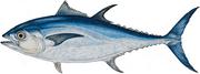 Bluefin tuna from google