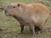 Capybara-02