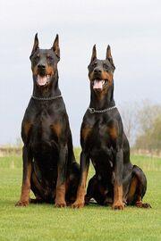 B7c4b2766064326e40d4d52279f62b2e--black-doberman-doberman-dogs