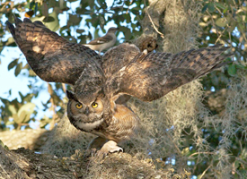 Great horned owl arlene koziol glamor
