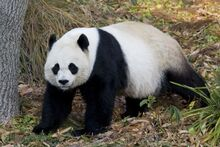 Giant-panda-at-national-zoo