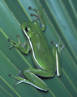 Green tree frog 380