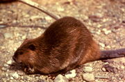 Beaver (1)