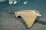 Common eagle ray