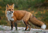 Red-Fox-Animal-Facts