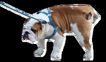 Bulldog Peeing burned