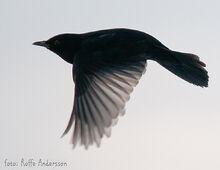 Flying-blackbird
