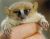 Mittermeier's mouse lemur