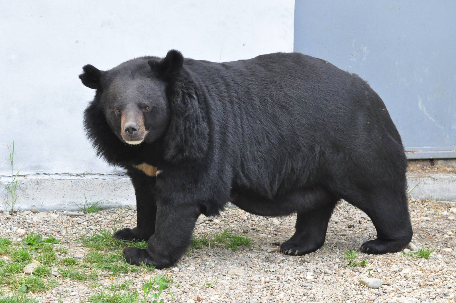 black bear beast wars transformers wiki fandom powered by wikia