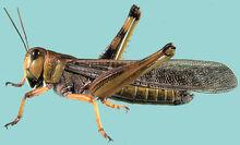 Locust 147855