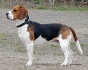 Beagle-3