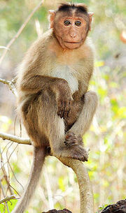 Bonnet macaque (Macaca radiata) Photograph By Shantanu Kuveskar