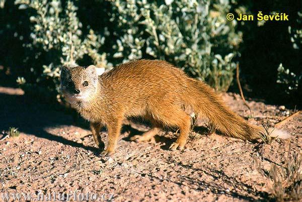 Yellow-mongoose--cynictis-penicillata.jpg