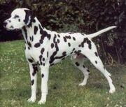 Dalmatian (1)