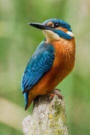 Kingfisher-bird-common-kingfisher