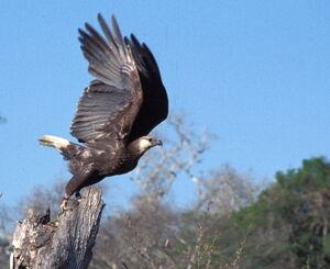 Madagascan fish eagle