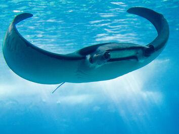 799px-Manta Ray, Lisboa aquarium 2008