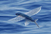 Flying-fish 0