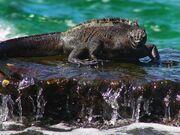 Marine-Iguana-1