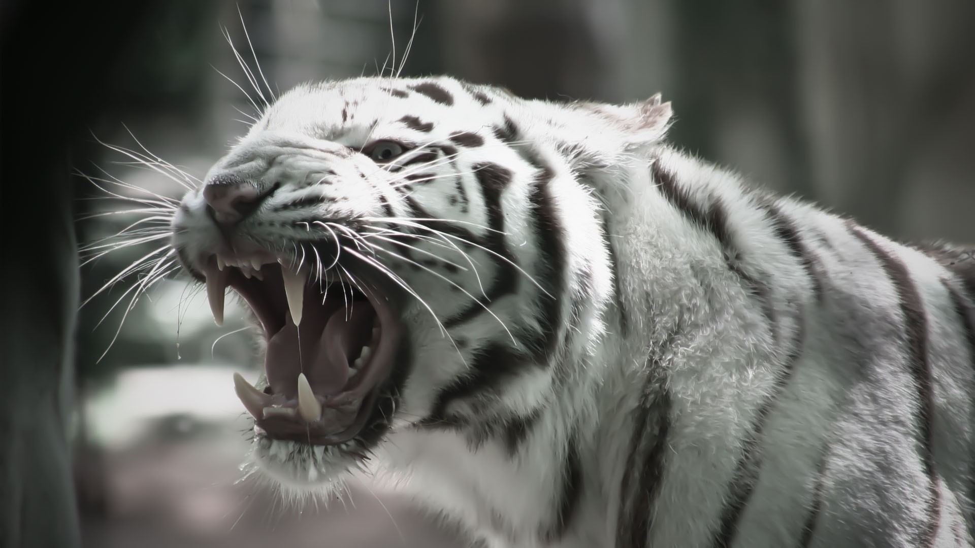 image - roaring-white-tiger-animal-hd-wallpaper-1920x1080-6590