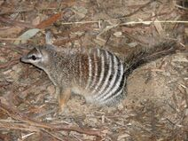 21559520-the-numbat-is-running-on-twigs-and-bark