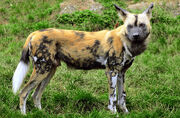 African-wild-dog-Michael-Gabler
