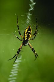Garden-spider-crawling-on-web 1200x1800