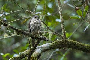 Madagascan sparrowhawk