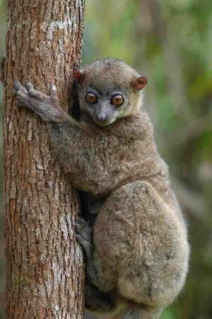 Wright's sportive lemur