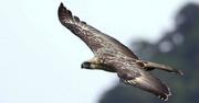 In-flight-Philippine-Eagle-2c1pmw2
