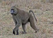 Africa-05-06.1140685380.baboon