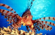 Lion-fish