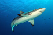Grey-reef-shark-for-coral-page