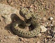 Rattlesnake-1-small