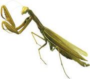 A-Praying-Mantis