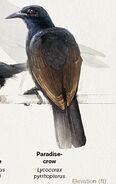 Paradise-crow