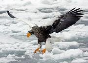 Steller's-sea-eagle
