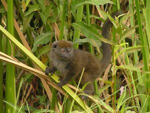 Lac Alaotra bamboo lemur