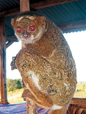 Southern Woolly Lemur Beast Wars Transformers Wiki Fandom