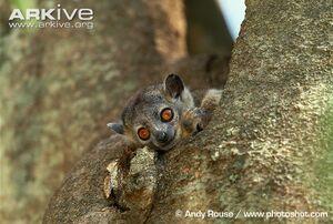 Weasel sportive lemur