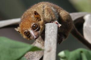 Claire's mouse lemur