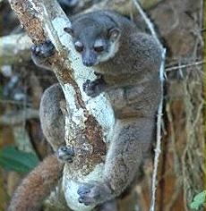 Fleurete's sportive lemur
