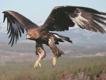 Golden Eagle Scottish Highlands Wallpaper wuuuf
