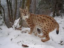 ONCFS-Réseau-loup-lynx