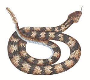 diamondback rattlesnake beast wars transformers wiki fandom rh beastwarstransformers wikia com diamondback rattlesnake clipart rattlesnake clipart black and white